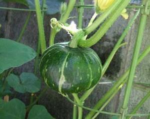 6月の野菜栽培|梅雨の合間に効率的に作業します