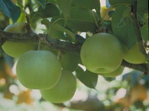 ナシ 受粉樹と品種