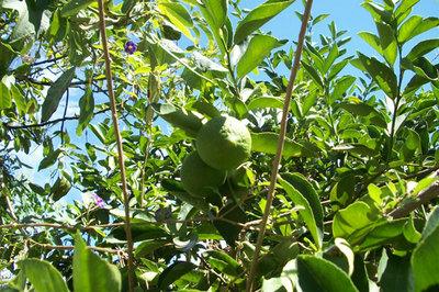 レモンの葉が枯れる理由