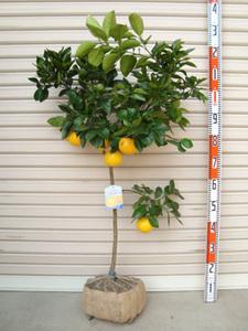 グレープフルーツの育て方 庭植え|乾かし気味に育て雨にあてずに