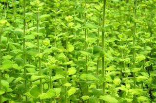 ミントの育て方|葉が茂ったら風通しが良くなるよう収穫