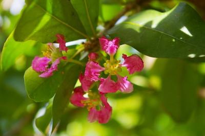 Acerola (2).jpg