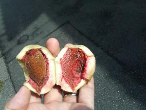 アーモンドの育て方 鉢植え|寒さに弱いので最初は鉢植えで栽培