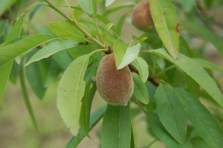 Almond (3).jpg