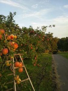 リンゴの育て方 庭植え|暑さと病害虫対策が大切です