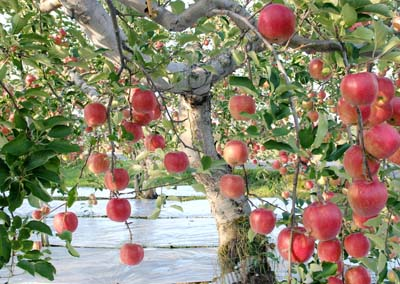 Apple (6).jpg