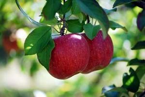 リンゴ 人工授粉のコツ
