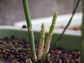 アスパラガスのプランター栽培|毎年の植え替えで元気に育ちます