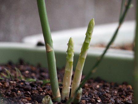 Asparagus004.jpg