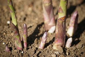 アスパラガスとは?|美味な健康野菜を家庭で栽培