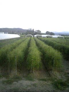 アスパラガスの育て方|10年も続けて収穫できます