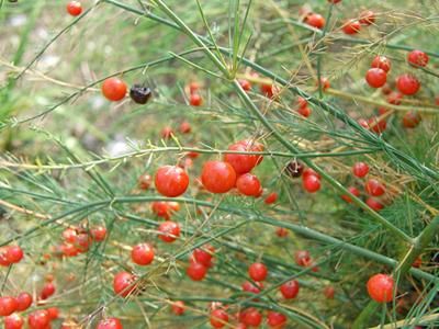 Asparagusnew (5).jpg