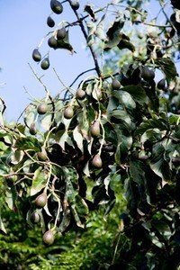 Avocado20(3).jpg