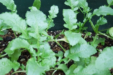 Baby-leaf07.jpg