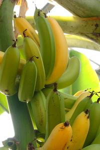 バナナの育て方|冬の防寒対策をしっかりと