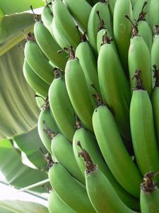バナナ栽培のコツ