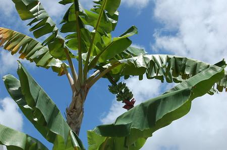 Banana (3).jpg