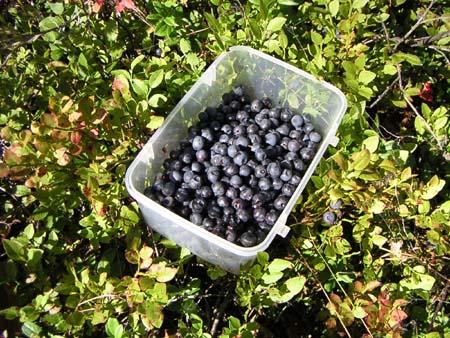 Bilberry (1).jpg