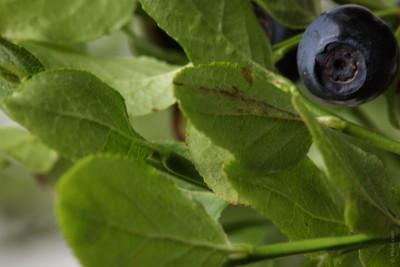 Bilberry (3).jpg