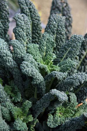 Black cabbage.jpg