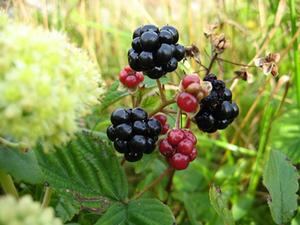 ブラックベリー 梅雨の栽培