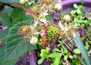 ブラックベリーの育て方 鉢植え|雨上がり後は収穫を控えます