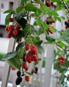 ブラックベリーの育て方 庭植え|ラズベリーより耐乾性耐暑性が強い