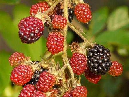 Blackberrynew (4).jpg