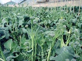 ブロッコリーの脇き芽も収穫するコツは?