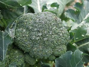 ブロッコリーとは?|栄養バランスの良い緑黄色野菜