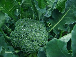 ブロッコリーの栽培時期|夏まきが育てやすい!