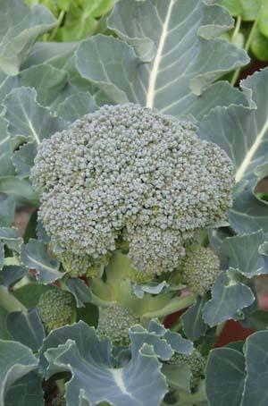 Broccoli (2).jpg