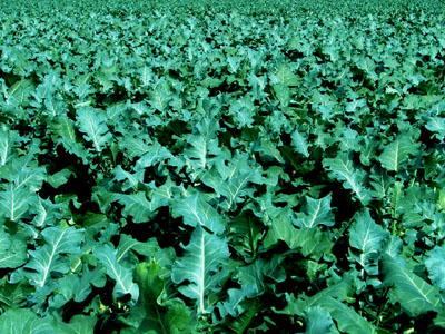 BroccoliA.jpg