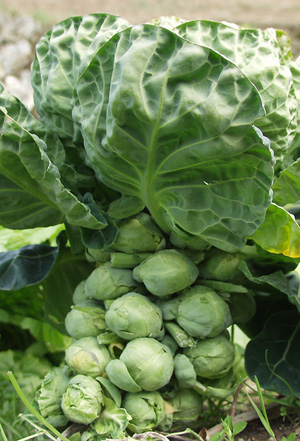 Brussels sprouts (2).jpg