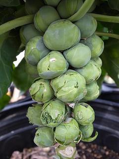 メキャベツの育て方|キャベツより栄養豊富な野菜
