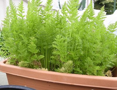 CarrotA (10).jpg