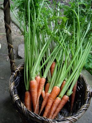 CarrotB.jpg
