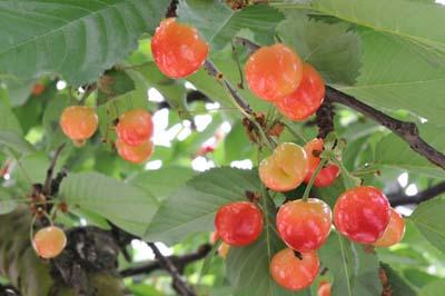 Cherry20(1).jpg