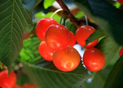 Cherry (4).jpg