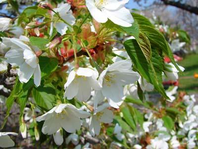 Cherry (5).jpg
