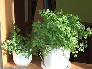 チャービルの育て方|半日陰で栽培、柔らかい葉を育てます