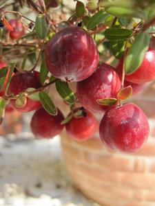 クランベリーの育て方 鉢植え|小さく仕立てても数多く収穫