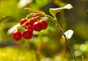 クランベリーの育て方 庭植え|小さい高原性の果実