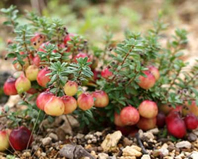 Cranberry1 (3).jpg