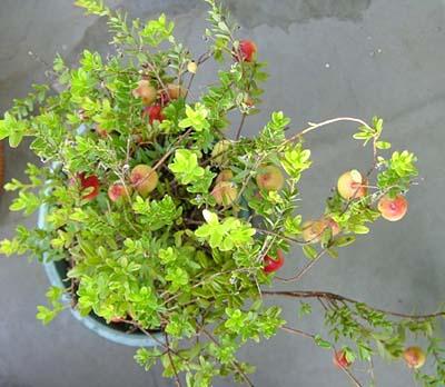 Cranberry1 (5).jpg