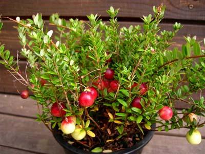 Cranberry1 (6).jpg