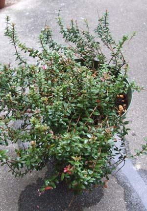 Cranberry (1).JPG
