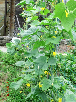 Cucumber (5).jpg