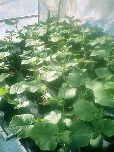 Cucumberx.jpg