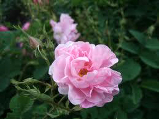 ローズの育て方|花や実、使用方法により品種を選びます